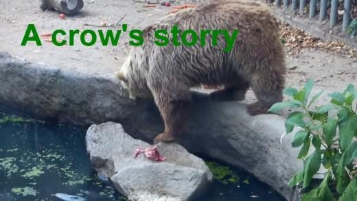 Dans un zoo, un ours sauve une corneille de la noyade